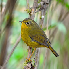 female Golden Bush Robin