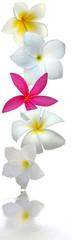 fleurs de frangipanier sur fond blanc