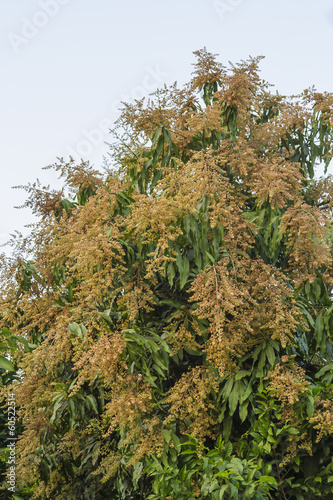 Flowering mango tree pollen