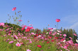 beautiful cosmos flower with sky
