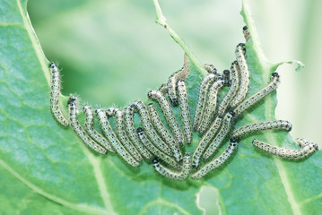 Caterpillars eat cabbage leaf