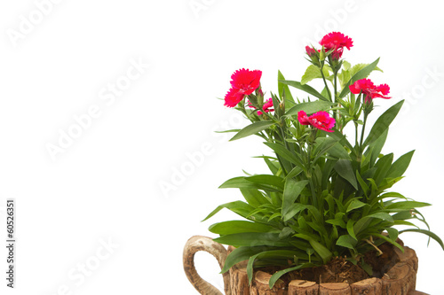 Dianthus Chinensis Flowers,China Pink, Indian Pink