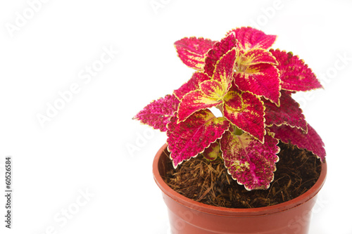 coleus colorful foliage, houseplant