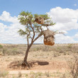 Weaver bird nest in Namibia, Africa