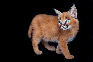 Caracal baby on black background