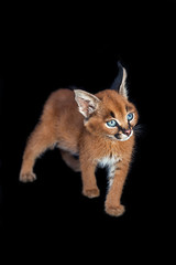 One baby caracal