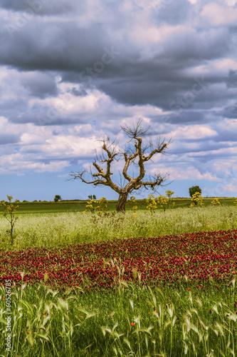 Parco Alta Murgia:albero e fiori viola. - Puglia (ITALIA)-