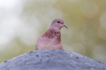 Close-up of a laughing dove (Streptopelia senegalensis)