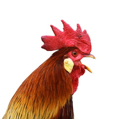isolated singing rooster