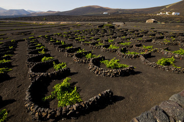 cultivation home viticulture  winery lanzarote vine screw grapes