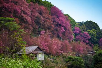 Sakura found along the northern Thailand city of Thailand, such