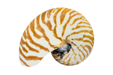 Chambered Nautilus shell isolated on white background