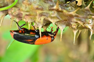 Beetle Rhynchophorus