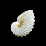 White Paper Nautilus or Argonauts shell isolated on black