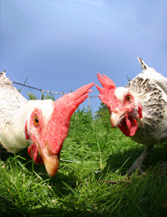 funny exciting hens
