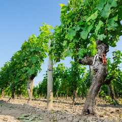 Vine stock in vineyards