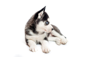 A month old siberian husky puppy or cub