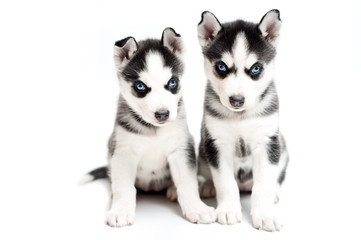very young husky puppies on white background