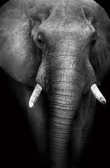 Wild African Elephant (Artistic Edit)