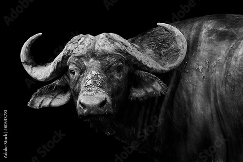 Staande foto Buffel Buffalo in black and white