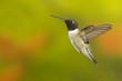 Black-chinned Hummingbird hoovering