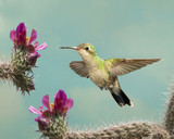 Female Broad-billed Hummingbird hoovering with flowers