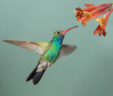 Male Broad-billed Hummingbird hoovering with flowers
