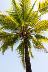 coconut  tree against the blue skies