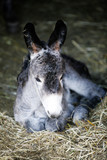cute young donkey portrait