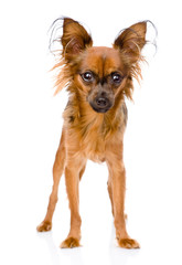 Russian toy terrier standing in front. isolated on white