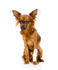 Russian toy terrier with an injured leg. isolated on white