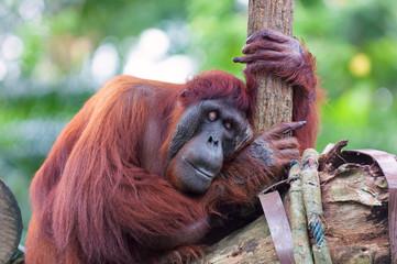 Borean Orangutan
