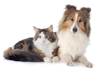 shetland dog ans maine coon cat