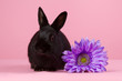 Black dwarf rabbit with purple flower