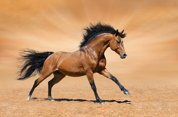 Galloping bay stallion on gold background