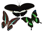 collection of tropical butterflies