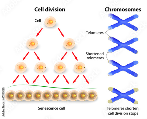 Telomere, cell division and human chromosomes