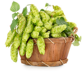 Green hops in a wooden basket