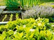 Vegetables and herb plants in garden.