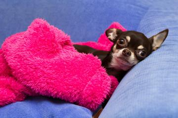 lying Chihuahua