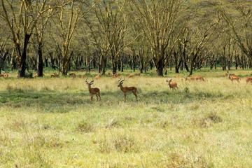 Herd of impalas under acacia trees