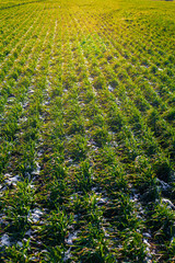 agricultural field of winter wheat under the snow