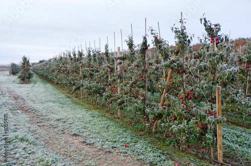 Swedish apple farm in autumn season