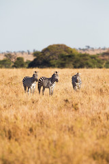 Zebras standing in the grass