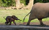 The elephant calf runs for mum