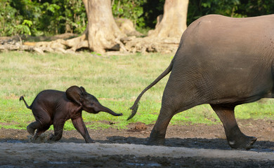The elephant calf runs for mum