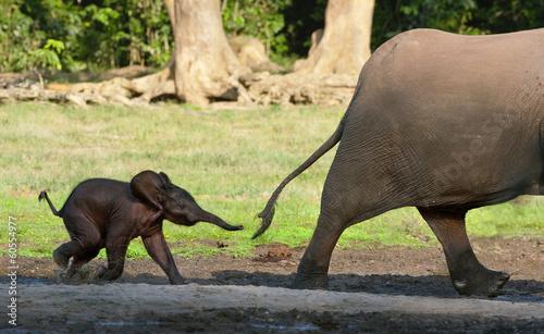Foto op Canvas Olifant The elephant calf runs for mum