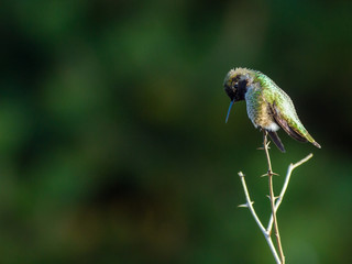 Hummingbird perches atop small branch