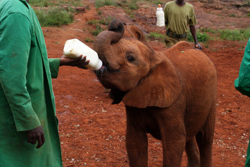 Baby elephant receiving it's milk