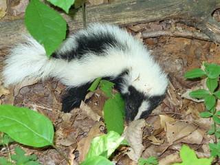 young skunk